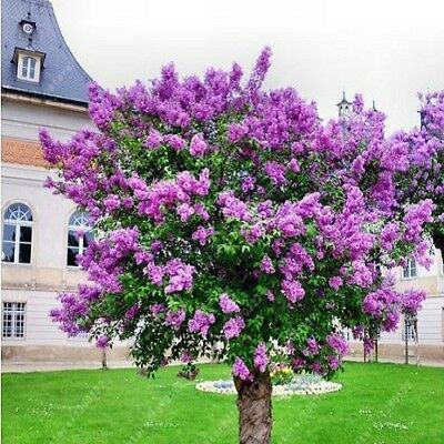 100PCS lilac seed purple Japanese (Fragrant) flower trees plant for home garden