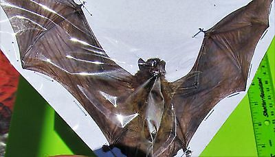 Lot of 10 Lesser Bamboo Bat Tylonycteris pachypus Spread FAST SHIP FROM USA