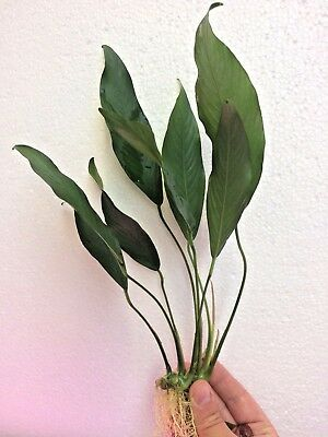 LARGE ANUBIAS LANCEOLATA rooted plant for wood Live Aquarium Aquatic Plants