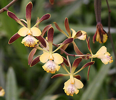 Encyclia alata species orchid