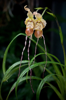 Phragmipedium Dominianum slipper orchid with Flower Spike