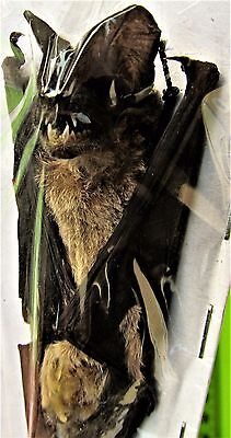 Java Mastiff Bat Otomops formosus Hanging Taxidermy FAST SHIP FROM USA