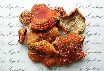 Amanita Muscaria dried caps 30 grams (1 ounce) Fly agaric