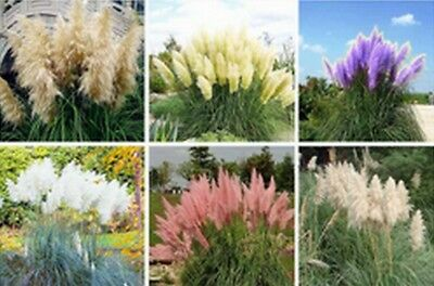 Mixed Colour Pampas Grass Seeds - Cortaderia selloana - Lovely Tall Perennials.