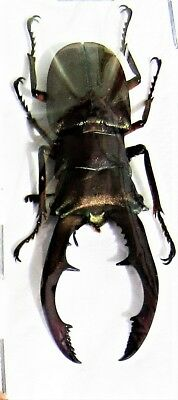 Staghorn Beetle Cyclommatus metallifer metallifer Male 40-45mm FAST FROM USA