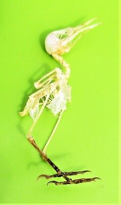 Uncommon Ashy Tailorbird Orthotomus ruficeps Skeleton FAST FROM USA