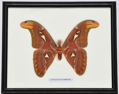 Real Attacus Atlas Moth Giant  (Male) Insect Taxidermy In Framed Display