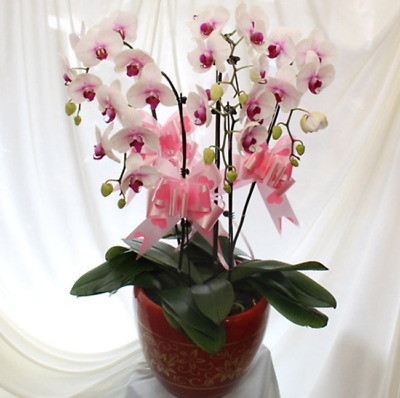 White and Red Orchid Seeds Phalaenopsis Orchid 200 Pcs Home Garden Plants Flower