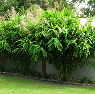 TIGER GRASS Thysanolaena maxima fast-growing tropical plant in 140mm pot