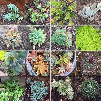 FREE EXPRESS POST 20 Mixed Succulents Cuttings and Pups ALL DIFFERENT #3