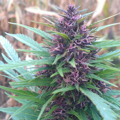 Lote 10 semillas cannabis regulares (Purple Shaman)