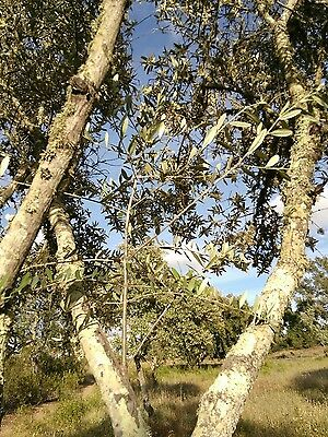 5 Olive Tree Cuttings (Olea Europaea) - From  Portugal