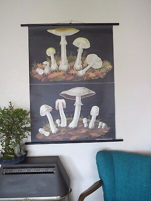 Vintage Pull Roll Down School Chart Death Cap And Horse Mushroom Jung Koch Style