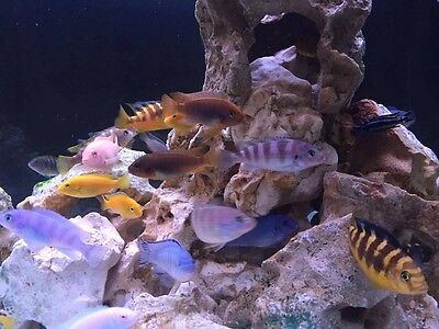 For SALE A brilliant offer of 10 beautiful Malawi Cichlid Juveniles 4/5cm.