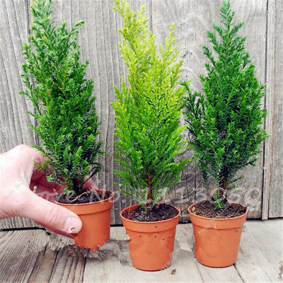 Hot 50PCS ITALIAN CYPRESS (Cupressus Sempervirens )Tree Seeds,Popular Hardy