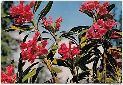 74-Rhododendron-N°C-3322-C/0101