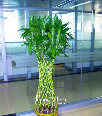 Lucky Bamboo Plant Arrangement with Black Vase 100seed ship 25-45 day