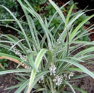 6 x STRIPEY WHITE Liriope muscari hardy variegated strappy plants in 75mm pots