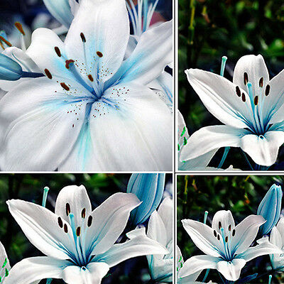 50pcs Rare Oriental Lily Blue Stargazer Scented Bulbs Seeds Plants Garden Flower