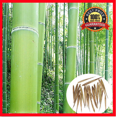 200pc Fresh Moso_Bamboo_Seeds Phyllostachys Pubescens Giant Bamboo !HOT RARE !