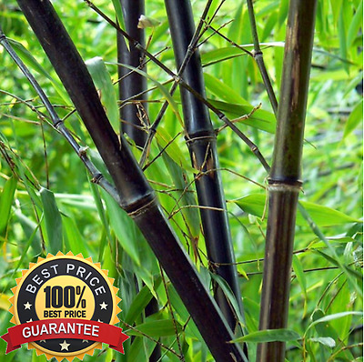 200pc Fresh Black Bamboo Seeds With Instructions * Phyllostachys Nigra !HOT HOT