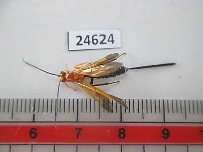 24624.Unmounted insects, Hymenoptera, Ichneumonidae ?. From South Vietnam.