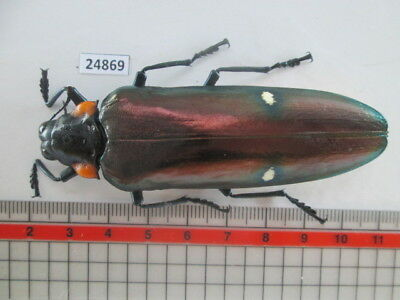 24869.Unmounted insects, Buprestidae.Megaloxantha bicolor. From South Vietnam.