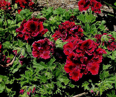 PELARGONIUM GERANIUM PLANT CHANTE  PICK UP (read listing for postage costs)