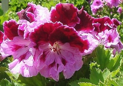 PELARGONIUM GERANIUM PLANT BOLERO  PICK UP  (read listing for postage costs)