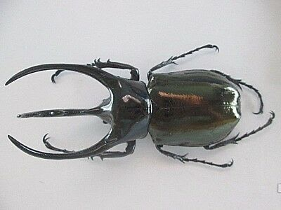 26091.Unmounted insects,Chalcosoma caucasus .From Central Vietnam.114mm