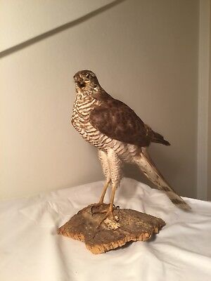 Antique Sparrow hawk Taxidermy Épervier D'Europe Taxidermie Naturalisé