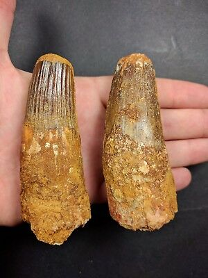 S46- Superb Collection 2 Huge SPINOSAURUS Dinosaur Teeth Cretaceous KemKem