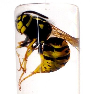 REAL WESTERN YELLOW JACKET WASP V Pensylanica WET SPECIMEN INSECT TAXIDERMY