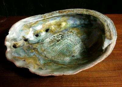 Vintage large abalone shell 7.5 by 6 inches