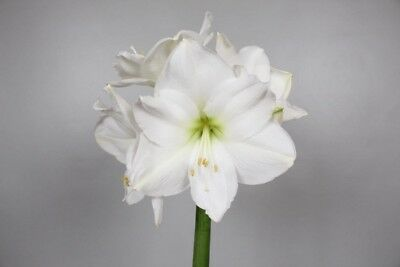 AMARYLLIS CHRISTMAS GIFT 18x 4 Blooms per stem | White | Qty 18 Wholesale