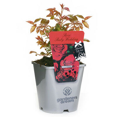 RUBY WEDDING GardenersDream POTTED ROSE CARING GIFT MESSAGE 4.5L SILVER POT