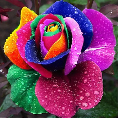 100 Seeds Rare Holland Rainbow Rose Flowers Lover colorful Home Garden plants