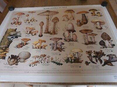 Large vintage some Edible Fungi,poster,wallchart by Ray cowell BP Educational se