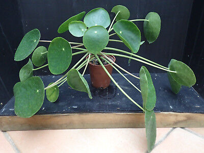 Pilea peperomioides Original True Chinese Money Plant Pancake Plant BIG