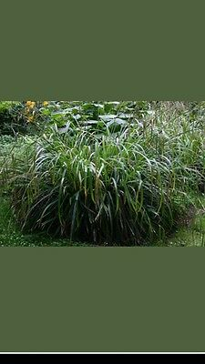 Carex Pendula (Weeping Sedge Grass) Hardy Perennial 20 plants