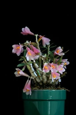 Dendrobium Mountain Magic orchid