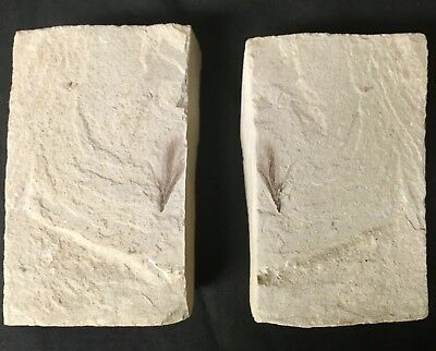 Rare Green River Fossil Bird Feather For Sale!