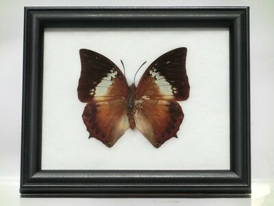 Tawny Rajah Real Butterfly Wood Framed Insects Taxidermy Display