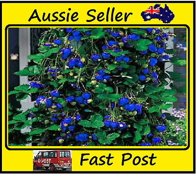 Strawberry Seeds Blue Climbing Strawberries Home Garden Easy Grow 1000 Seed Lots