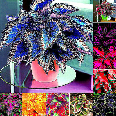30Pcs Coleus Seeds Foliage Plants Color Arc-Dragon Beautiful Flower Semente New