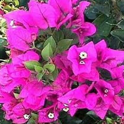 BABY PURPLE Bougainvillea Compact flowering climber plant in 140mm pot