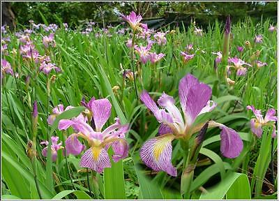 Water Plants- Iris virginica  (Pink)