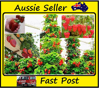 Strawberry Seeds Red Climbing Strawberries Home Garden Easy Grow 5000 Seed Lots