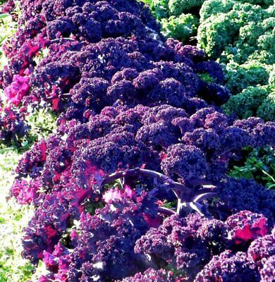 ORNAMENTAL CABBAGE (Brassica Oleracea Scarlet) 200 seeds (#1307)