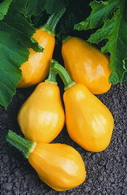 Summer Squash Papaya Pear (10 Seeds)